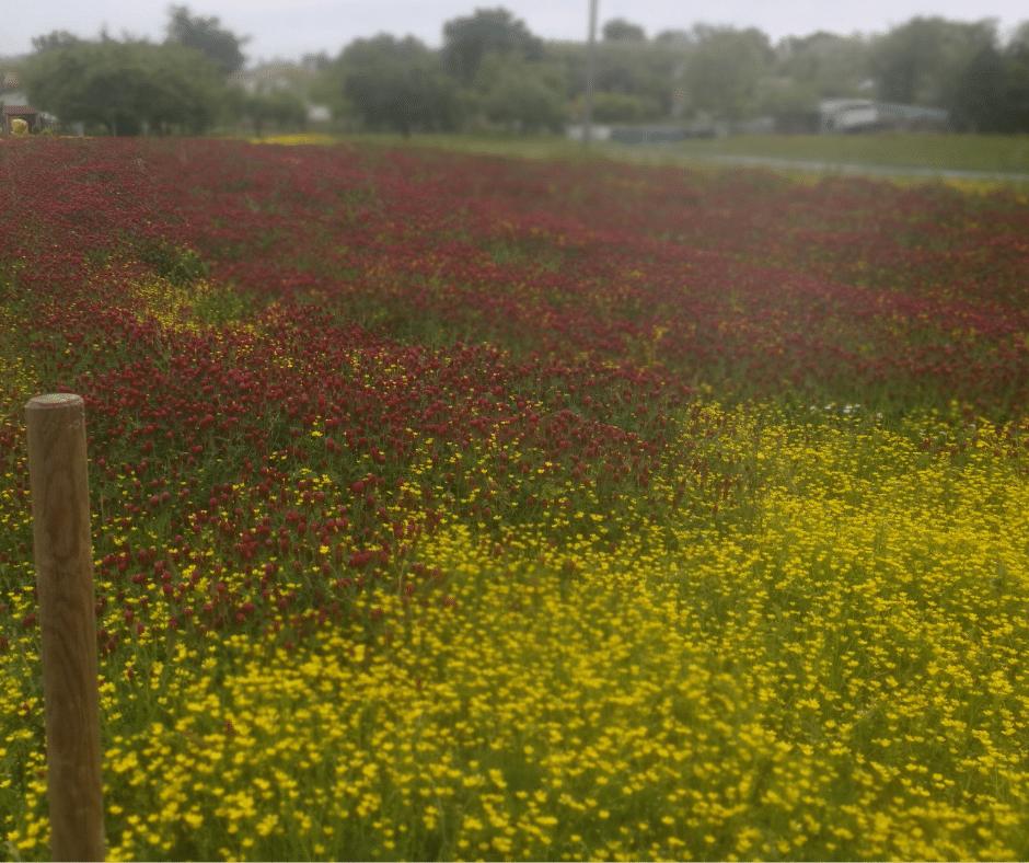 De l'engrais vert au jardin