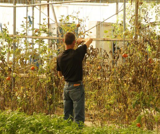 Salarié en train de s'occuper des plan de tomates